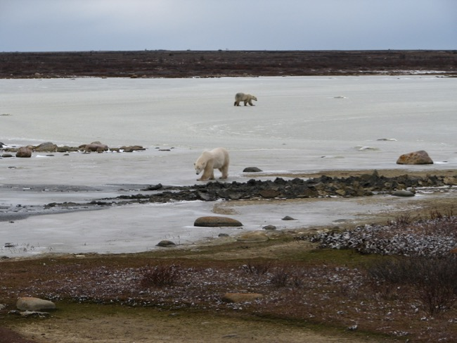 Polar bears standing on an ice covered pond.